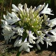 Agapanthus 'Snow Princess'