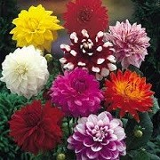 Dahlia Anemone Mix (29/05/2015)  added by Shoot)