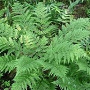 Dryopteris dilatata (31/05/2015)  added by Shoot)