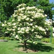 Syringa reticulata 'Ivory Silk' (31/05/2015)  added by Shoot)