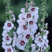 Verbascum 'Jolly Eyes' (31/05/2015)  added by Shoot)