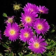 Delosperma ashtonii (07/06/2015)  added by Shoot)