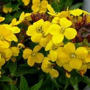 Erysimum 'Canaries Yellow' (12/04/2015)  added by Shoot)