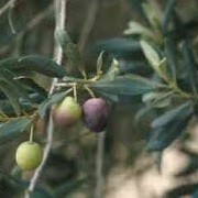 Olea europaea 'Leccino' (31/05/2015)  added by Shoot)
