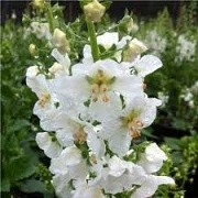 Verbascum phoeniceum 'Flush of White' (23/04/2015)  added by Shoot)