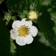 Fragaria vesca 'Multiplex' (23/04/2015)  added by Shoot)