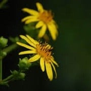 Silphium trifoliatum (23/04/2015)  added by Shoot)