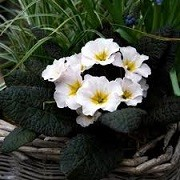 Primrose vulgaris 'Drumcliffe' (31/05/2015)  added by Shoot)