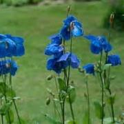 Meconopsis George Sherriff Group (31/05/2015)  added by Shoot)