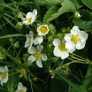 Fragaria x ananassa 'Marmalada' (31/05/2015)  added by Shoot)