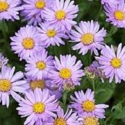 Aster x frikartii 'Flora's Delight' (02/06/2015)  added by Shoot)