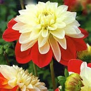 Dahlia 'Moulin Rouge'