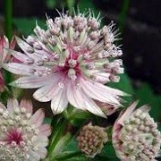 Astrantia 'Berendien Stam' (03/06/2015)  added by Shoot)