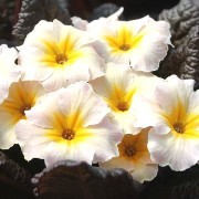 (31/05/2017) Primula japonica 'Dunbeg' (Kennedy Irish Series) added by Shoot)