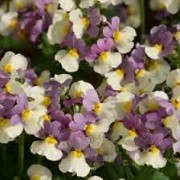 Nemesia 'Sweet Lady' (Fragrant Lady Series) (03/06/2015)  added by Shoot)
