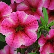 Calibrachoa 'Can-can Rose Star' (Can-can Series) (07/06/2015)  added by Shoot)