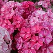 Phlox paniculata 'Freckle Pink Shades' (07/06/2015)  added by Shoot)