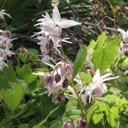 Epimedium 'Akebono' (08/06/2015)  added by Shoot)