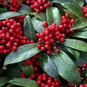 Skimmia japonica subsp. reevesiana