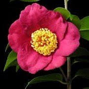 Camellia japonica 'Kumagai' (06/01/2016)  added by Shoot)