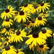 Rudbeckia fulgida 'Early Bird Gold' (10/03/2016)  added by Shoot)