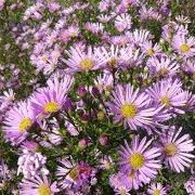 Aster ericoides 'Pink Cloud' (10/03/2016)  added by Shoot)
