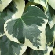(11/01/2021) Hedera colchica 'Dentata Variegata' added by Shoot)