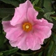 Cistus x fernandesiae 'Anne Palmer' (15/03/2016)  added by Shoot)