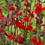 Salvia 'Red Swing'