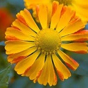 Helenium 'Oldenburg' (16/03/2016)  added by Shoot)