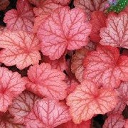 Heuchera 'Georgia Peach' (16/03/2016)  added by Shoot)