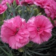 Dianthus caryophyllus 'Peman' (22/03/2016)  added by Shoot)