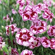 Dianthus 'Sunflor Charmy' (Sunflor Series) (22/03/2016)  added by Shoot)