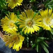 Delosperma 'McB 2999' (23/03/2016)  added by Shoot)