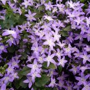 Campanula 'Addenda Blue Planet'