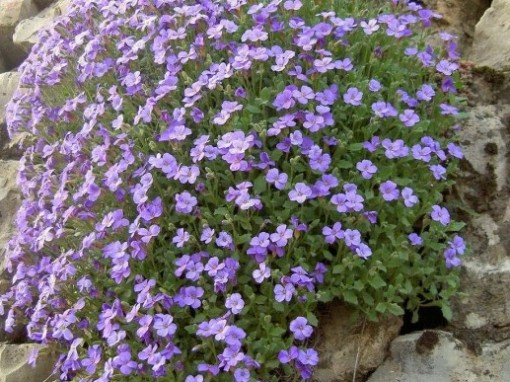 Aubrieta x cultorum (any variety)