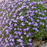 Aubrieta x cultorum  (03/05/2017) Aubrieta x cultorum (any variety) added by Shoot)