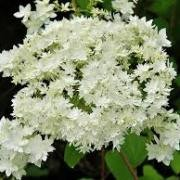 (28/09/2017) Hydrangea arborescens 'Hayes Starburst' added by Shoot)