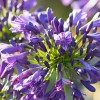 Agapanthus 'Purple Delight'