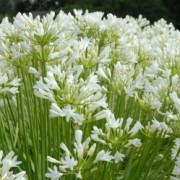 Agapanthus 'Snowstorm' (24/06/2016) Agapanthus 'Snowstorm' added by Shoot)