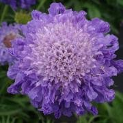(27/08/2017) Scabiosa columbaria 'Blue Note' added by Shoot)