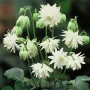 Aquilegia vulgaris var. stellata (28/04/2016) Aquilegia vulgaris var. stellata added by Shoot)