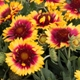 Gaillardia x grandiflora 'Sunset Snappy' (Sunset Dwarf Series)