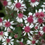 (16/07/2020) Symphyotrichum lateriflorum 'Prince' added by Shoot)