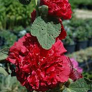Alcea rosea double scarlet-flowered
