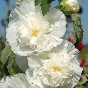 Alcea rosea double white-flowered