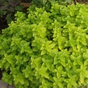 (17/10/2018) Origanum vulgare 'Thumble's Variety' added by Shoot)