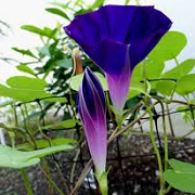 Ipomoea purpurea 'Star of Yelta'