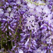Wisteria sinensis 'Amethyst' (Chinese wisteria 'Amethyst') (05/04/2017) Wisteria sinensis 'Amethyst' added by Shoot)