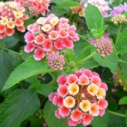 Lantana camara 'Confetti' (03/02/2017) Lantana camara 'Confetti' added by Shoot)